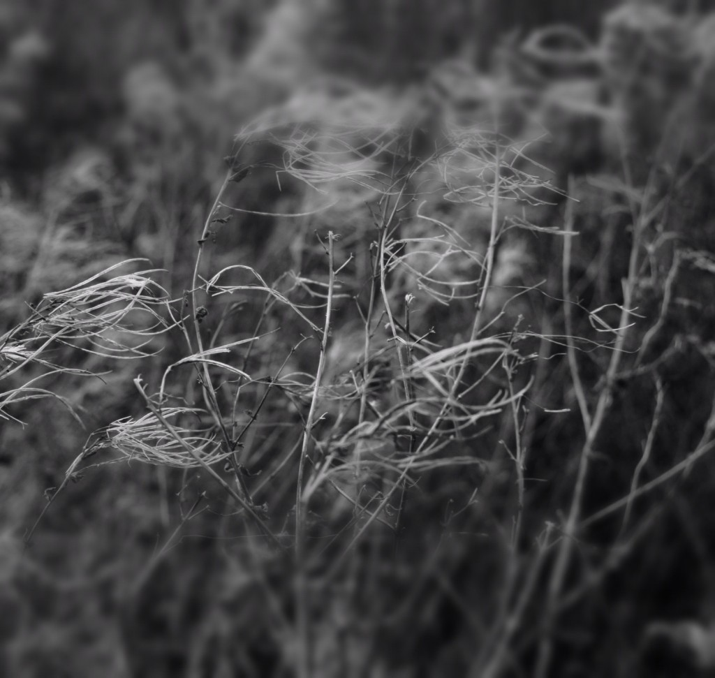 willow grass